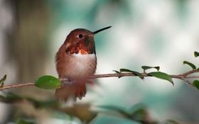 Картинка птичка, Охристый колибри, rufous hummingbird