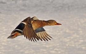 Обои полет, природа, крылья, утка