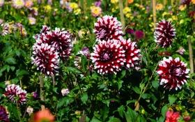 Картинка цветы, фото, много, георгины