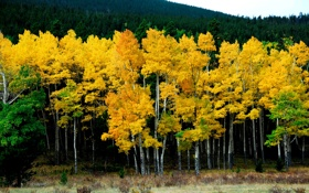 Картинка природа, лес, желтый, берёзы, осень