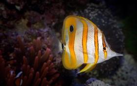 Картинка рыбка, подводный мир, коралловый риф, Copperband Butterflyfish, океан