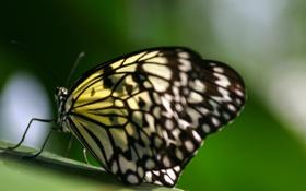 Картинка лист, бабочка, крылья, насекомое