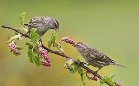 Картинка цветы, птицы, природа, две, ветка