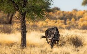 Обои природа, Африка, антилопа