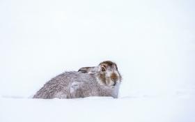 Обои кролик, снег, зима, ищу