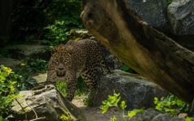Обои дикая кошка, морда, заросли, хищник, камни, леопард