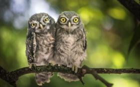 Картинка птицы, природа, совы