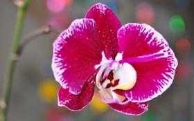 Обои макро, экзотика, орхидея