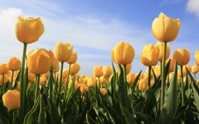 Картинка поле, небо, цветы, природа, поляна, растения, желтые
