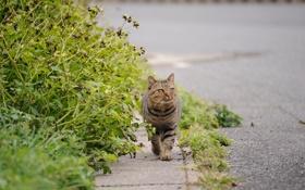 Картинка кот, дорога, зелень, прогулка, асфальт