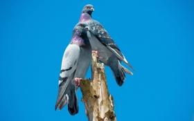 Обои птицы, природа, голуби