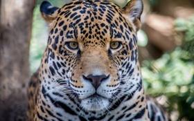 Обои усы, взгляд, морда, хищник, ягуар
