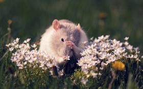 Картинка цветы, крыса, грызун