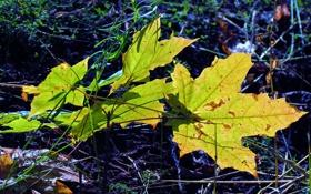 Обои осень, лист, Клен, синее