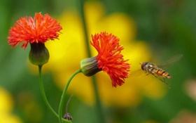 Картинка цветы, растение, насекомое, трутень