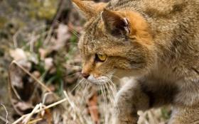 Картинка кошка, морда, профиль, лесной кот, дикий кот