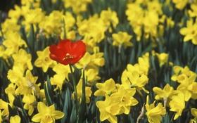 Обои листья, цветы, природа, тюльпан, весна, лепестки, бутоны