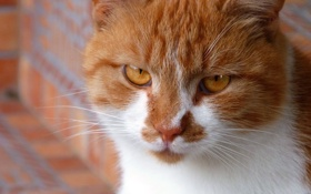 Обои кот, настроение, рыжий