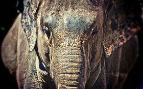 Обои морда, слон, хобот