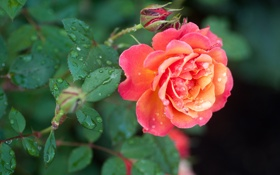 Обои капли, листья, роза, бутоны