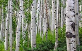Обои деревья, природа, Nature, Landscape, Summer, Colorado, березовая роща