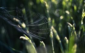 Картинка трава, природа, паутина, паук