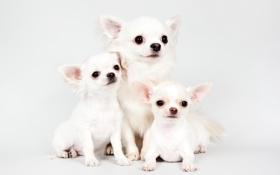 Картинка щенки, трио, чихуахуа, милые