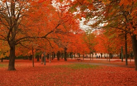 Обои осень, красное, клены