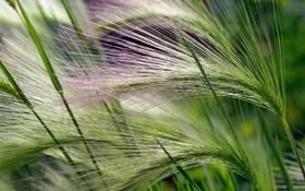 Картинка зеленый, растение, метелка