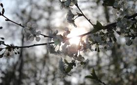 Картинка листья, цветы, природа, вишня, ветви, весна, цветение