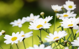 Обои зелень, поле, лето, цветы, природа, ромашки, размытость