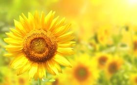 Обои лето, цветы, подсолнечник