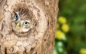 Обои природа, птица, Little Owl
