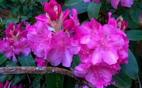 Обои рододендроны, ветка, соцветия