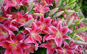 Обои цветы, цветение, розовые лилии