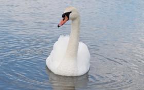 Картинка белый, рябь, грация, лебедь, шея