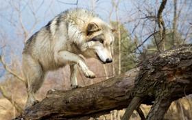Обои морда, лапа, волк, хищник, мех, прогулка, бревно