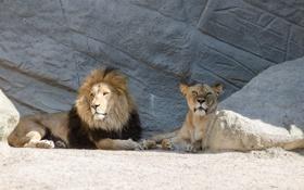 Картинка солнце, кошки, отдых, камень, лев, пара, львы