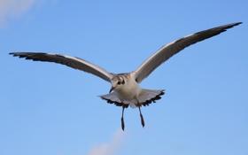 Картинка небо, птица, чайка