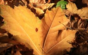 Обои листья, жёлтые, осень