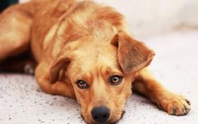 Картинка грусть, взгляд, собака