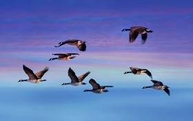 Обои небо, облака, полет, птицы, крылья, гуси