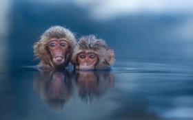 Обои природа, обезьяны, вода
