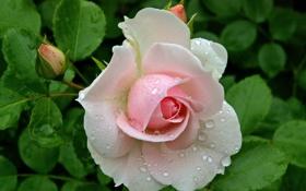 Обои фото, Цветы, Капли, Бутон, Розовый, Розы, Крупным планом