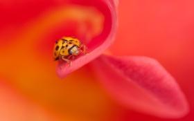 Обои насекомое, букашка, макро, цветок