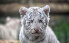 Обои морда, котенок, хищник, мордочка, белый тигр, детеныш, дикая кошка