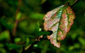 Обои зелень, макро, лист, размытость