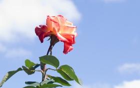 Обои роза, небо, бутон