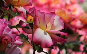 Картинка роза, лепестки, бутон, цветение, розово-желтая