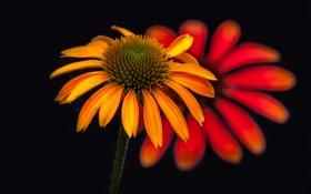 Обои цветок, фон, лепестки, эхинацея